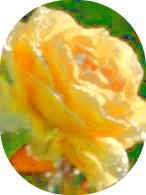 a bright yellow rose dripping with dew